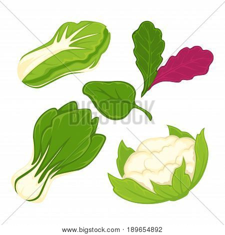 Lettuce salads or cabbage vegetables of cauliflower and arugula, brussels sprouts, chinese napa or pak choi, sorrel, chicory and spinach or radicchio. Vector isolated flat icons