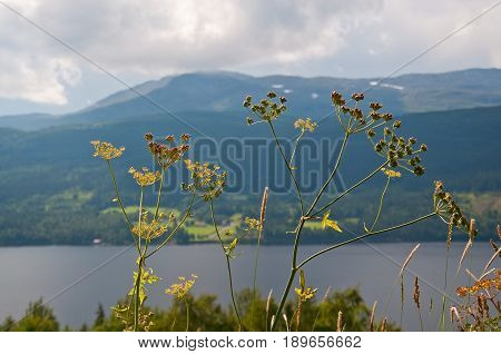 Swedish scenery. Scenic landscape with plant Anthriscus sylvestris Ravenswing Cow parsley near Ostersund in Northern Sweden in afternoon light.