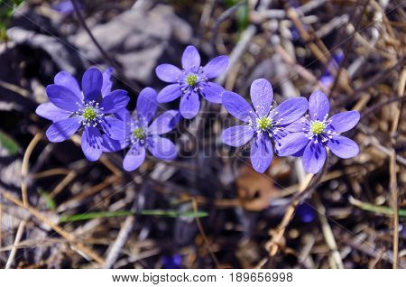 Five blue wildflowers (Hepatica nobilis) liverwort in forest meadow in spring Sweden.