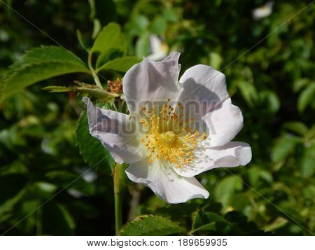 White Flower Of A Hip Rose In Blossom
