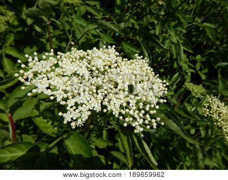 White Elderberry Tree In Blossom