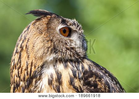 Closeup of a magnificent exemplar of Royal owl