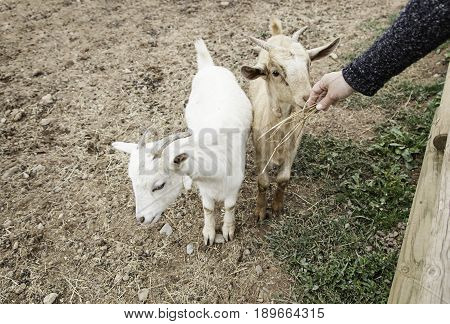 Fondling A Goat On A Farm