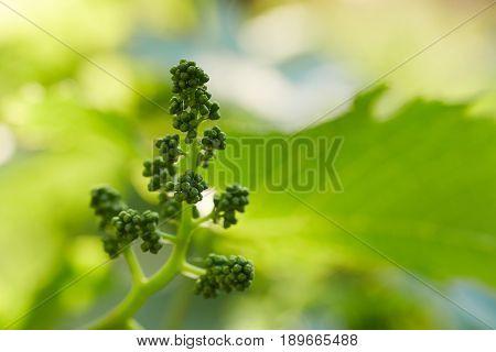 Close Up Of Branch Of Unripe Grape