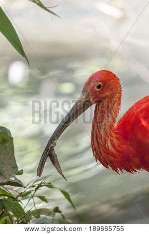 A scarlet ibis (Eudocimus ruber) in a pond