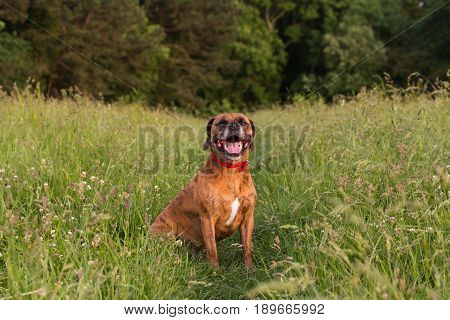 Cute Happy Dog Sitting In Long Grass Smiling