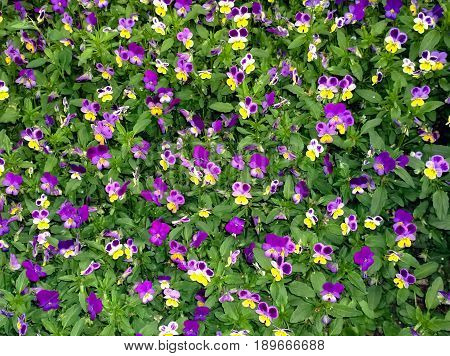 Fragment of a glade with blossoming flowers of a plant Pansies / violet tri-color /