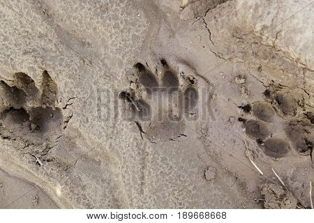 Dog tracks in the mud detail of a mark on the ground