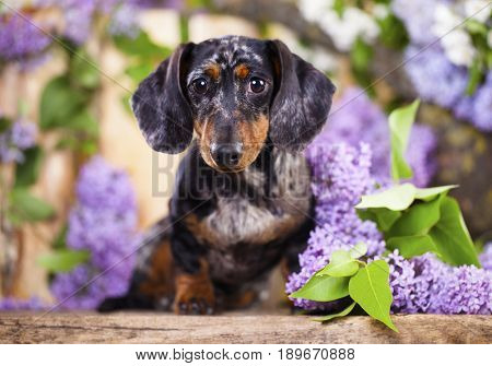 Dachshund in lilac flowers