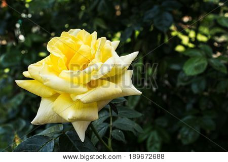 blooming yellow rose on the bush in the park