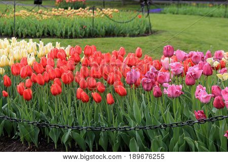 Gorgeous image of landscaped garden covered in bright colorful beds of  springtime tulips and manicured lawns.