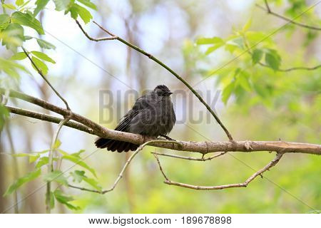 Gray catbird perched on branch after a rain