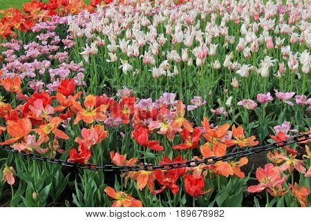 Beautiful image of various bright and colorful tulips in landscaped garden
