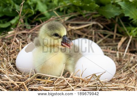 Cute little domestic gosling with broken eggshell and eggs in straw nest.