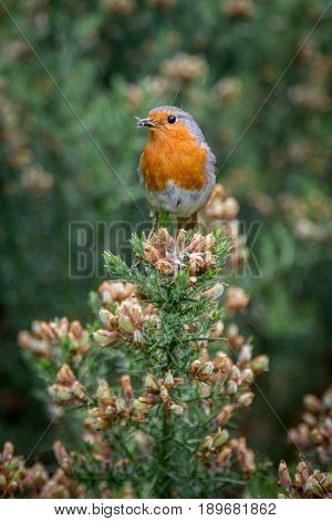 Robin With Insects In His Beak Perched On Gorse