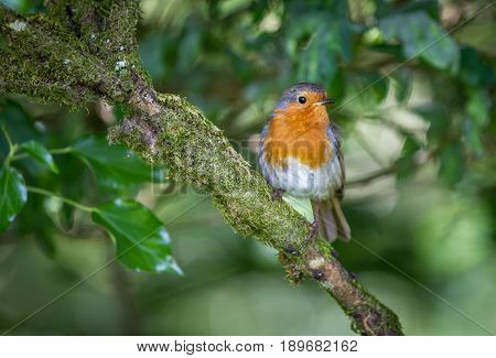 Robin Sat On A Moss Covered Branch In A Tree