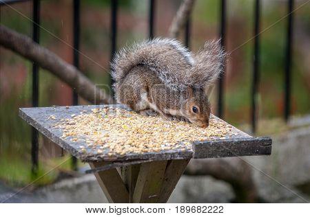 Cute Grey Squirrel Eating Off A Bird Table