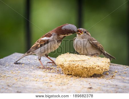Male House Sparrow Feeding A Fledgling Bird