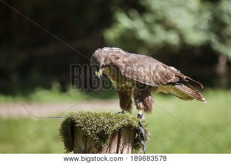 Close up of a Harris's buzzard (parabuteo unicinctus)