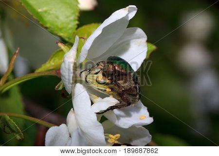 Cetonia aurata sitting on a flowering apple tree. Pest of plants.