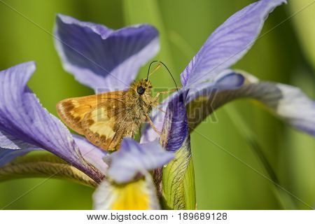 Hobomok Skipper Nectaring On Blue Flag Iris