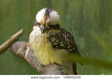The laughing kookaburra (Dacelo novaeguineae) is a bird in the kingfisher subfamily Halcyoninae.