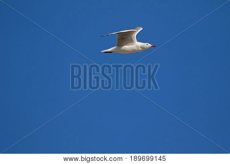 Silver Gull, Seagull seabird with scarlet legs, bill, flying in the blue sky in Tasmania, Australia