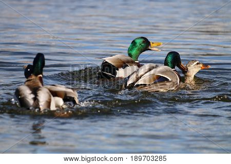 Mallard drakes pursuing a lone female and attempting to mate