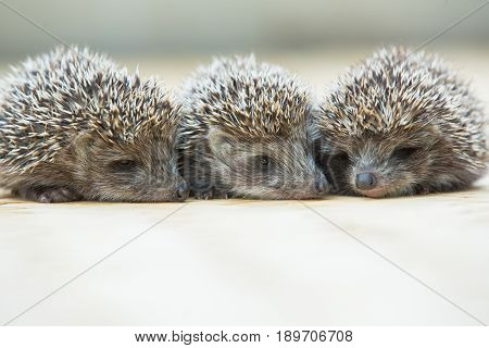 Three little Hedgehog portrait laying on the floor