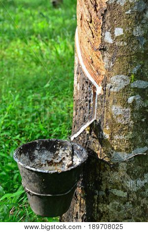 Close up and selective focus of rubber tree with latex flows (Hevea Brasilliensis) at Malaysia plantation.