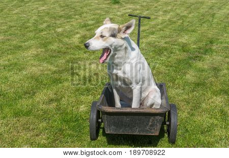 Young mixed breed white male dog waiting till master would drive this cool wheel barrow