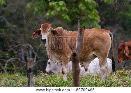 Costa Rican Cattle