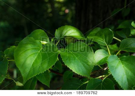 view on Green Leaves in the Forest, GRowing Plants. Clsoe-up of Green Leaves the Morning Light