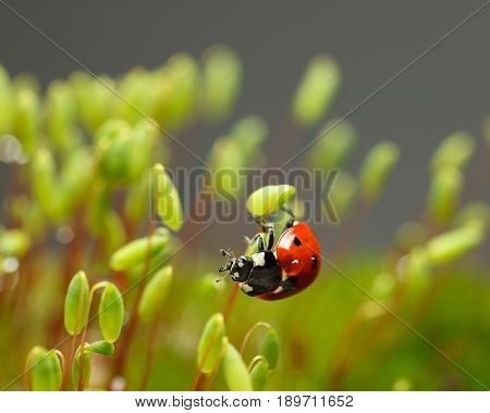 Ladybird Cling On Moss Sporophyte