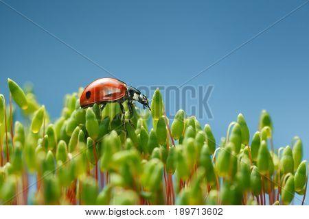 Ladybird Walking Over Moss Tops