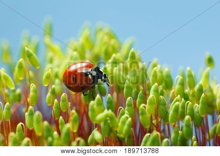 Ladybird Among Pohlia Moss Capsules