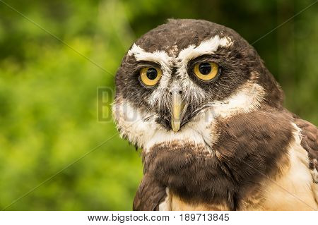 A close up of a Spectacled Owl