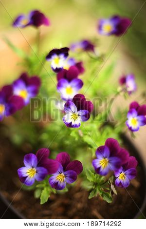 pansy violet flowers on the summer garden flower bed