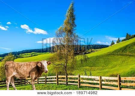 Sleek cow grazing in the grass.  Charming rural landscape in the Dolomites. Magnificent summer in Tirol. The concept of eco-tourism