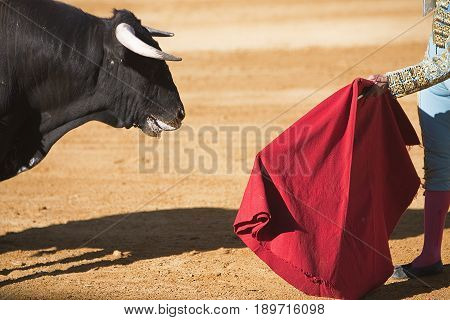 Bullfighter with the Cape in the Bullfight Spain
