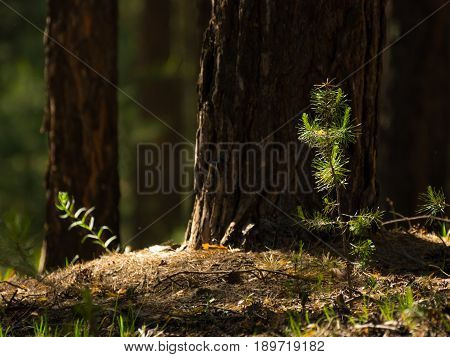 Pine tree saplings lit with bright sun in the forest with blurred tree trunks in background