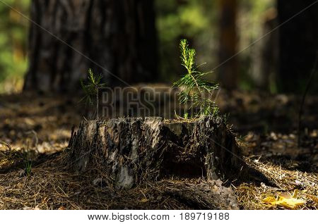 Pine tree saplings on an old stump lit with bright sun in the forest with blurred tree trunks in background