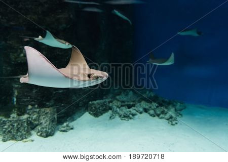 Stingrays swimming in blue water in aquarium