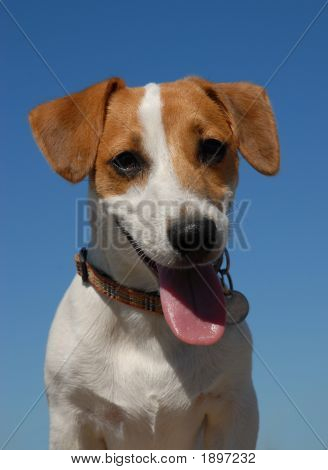 Portrait Of Jack Russel Terrier