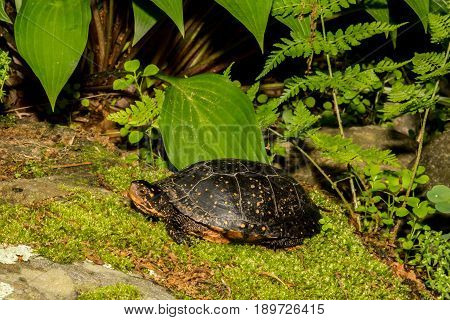 A Spotted Turtle crawling over a mossy stone.