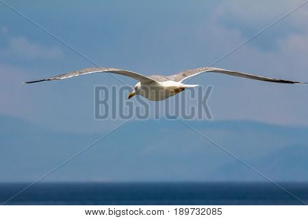 European herring gull (Larus argentatus) flying in the summer along the shores of Aegean sea near Athens, Greece.