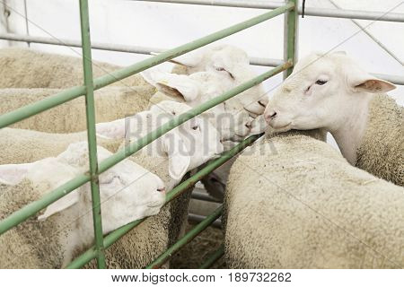 Sheep Farm In Captivity