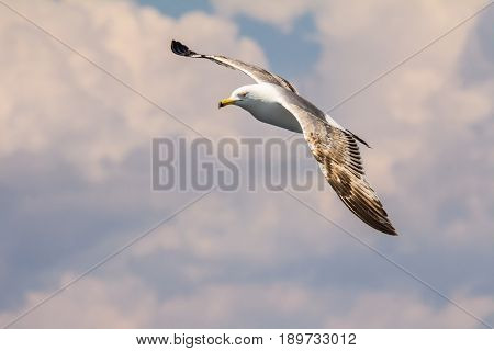 European herring gull, seagull (Larus argentatus) flying in the summer along the shores of Aegean sea near Athens, Greece.