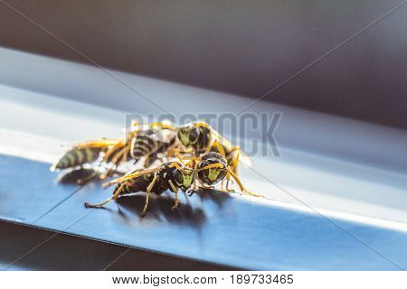Colony of hornets on the window tint. Background with limited depth of field.