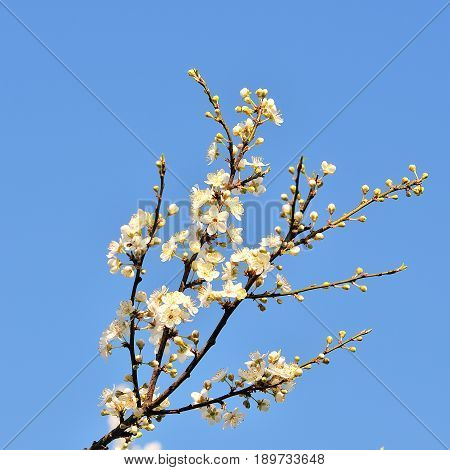 Blossom tree over nature background. Spring flowers